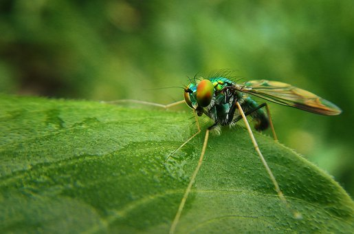 Fly, Flying Insect, Green, Mosquito